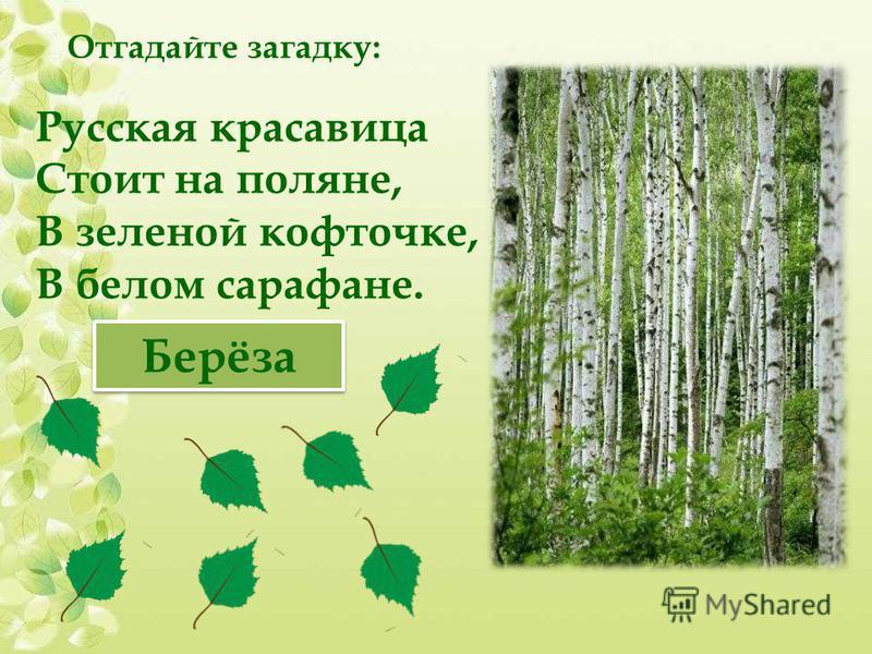 Русская красавица Стоит на поляне, В зеленой кофточке, В белом сарафане. Берёза Отгадайте загадку: