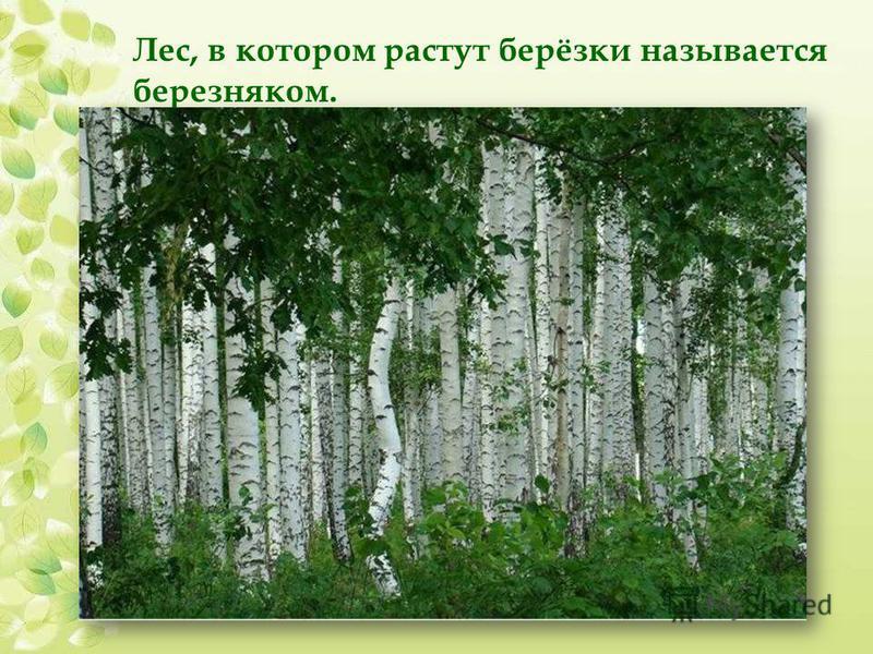 Лес, в котором растут берёзки называется березняком.