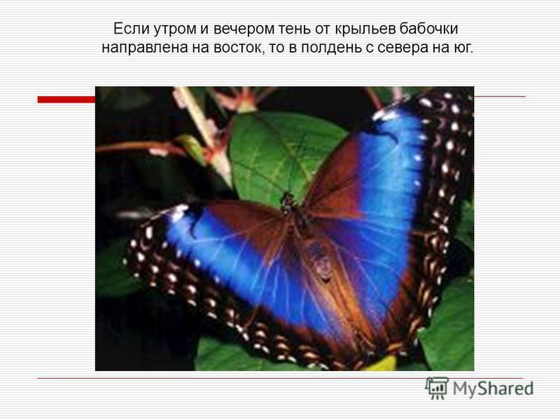 Если утром и вечером тень от крыльев бабочки направлена на восток, то в полдень с севера на юг.