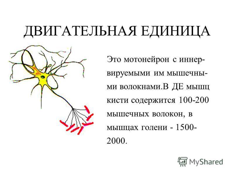ДВИГАТЕЛЬНАЯ ЕДИНИЦА Это мотонейрон с виннер- воруемыми им мышечными волокнами.В ДЕ мышц кисти содержится 100-200 мышечных волокон, в мышцах голени - 1500- 2000.