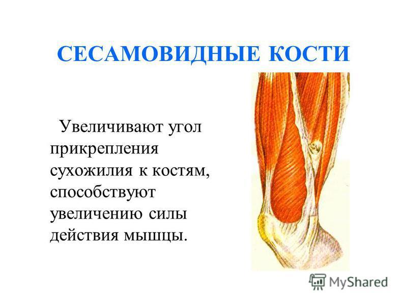 СЕСАМОВИДНЫЕ КОСТИ Увеличивают угол прикрепления сухожилия к костям, способствуют увеличению силы действия мышцы.