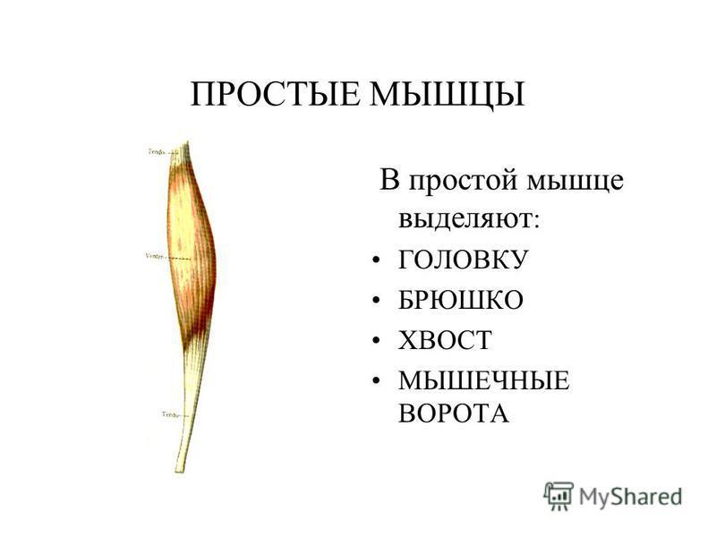 ПРОСТЫЕ МЫШЦЫ В простой мышце выделяют : ГОЛОВКУ БРЮШКО ХВОСТ МЫШЕЧНЫЕ ВОРОТА