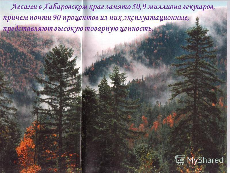 Лесами в Хабаровском крае занято 50,9 миллиона гектаров, причем почти 90 процентов из них эксплуатационные, представляют высокую товарную ценность.