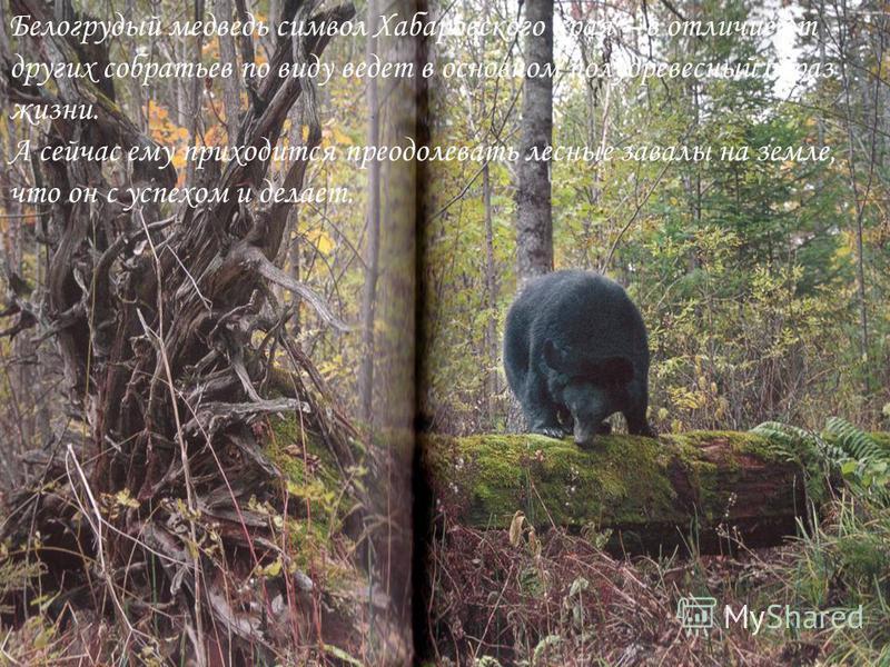 Белогрудый медведь символ Хабаровского края – в отличие от других собратьев по виду ведет в основном полу древесный образ жизни. А сейчас ему приходится преодолевать лесные завалы на земле, что он с успехом и делает.