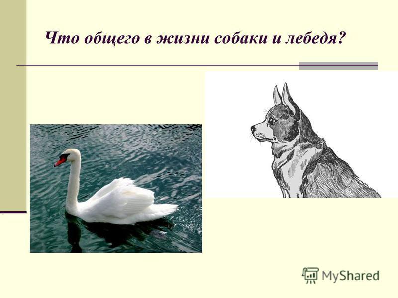 Что общего в жизни собаки и лебедя?