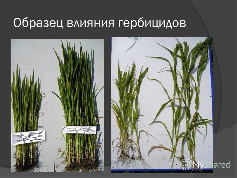 Образец влияния гербицидов