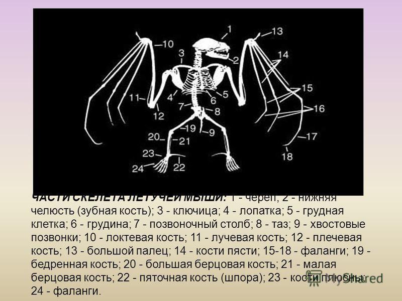 ЧАСТИ СКЕЛЕТА ЛЕТУЧЕЙ МЫШИ: 1 - череп; 2 - нижняя челюсть (зубная кость); 3 - ключица; 4 - лопатка; 5 - грудная клетка; 6 - грудина; 7 - позвоночный столб; 8 - таз; 9 - хвостовые позвонки; 10 - локтевая кость; 11 - лучевая кость; 12 - плечевая кость;