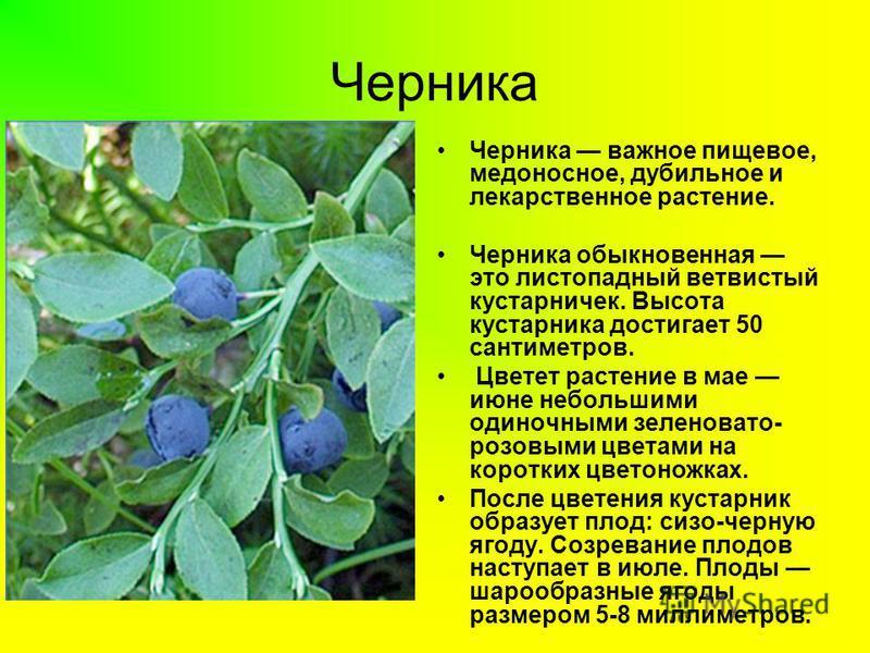 Черника Черника важное пищевое, медоносное, дубильное и лекарственное растение. Черника обыкновенная это листопадный ветвистый кустарничек. Высота кустарника достигает 50 сантиметров. Цветет растение в мае июне небольшими одиночными зеленовато- розов