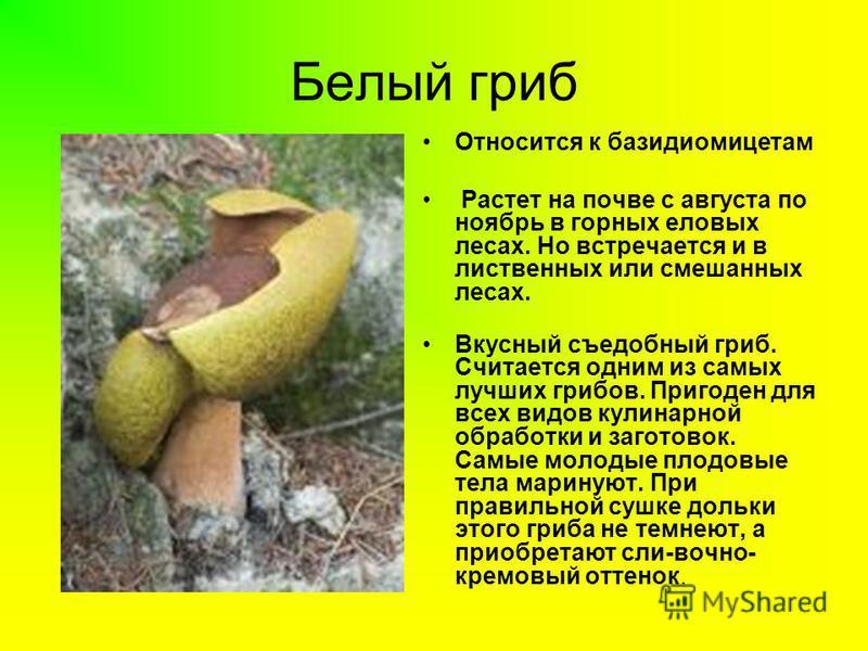 Белый гриб Относится к базидиомицетам Растет на почве с августа по ноябрь в горных еловых лесах. Но встречается и в лиственных или смешанных лесах. Вкусный съедобный гриб. Считается одним из самых лучших грибов. Пригоден для всех видов кулинарной обр