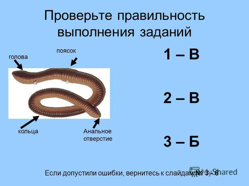 Проверьте правильность выполнения заданий 1 – В 2 – В 3 – Б голова поясок кольца Анальное отверстие Если допустили ошибки, вернитесь к слайдам 3 - 6