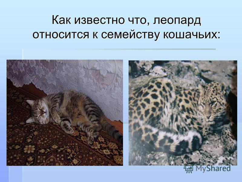 Как известно что, леопард относится к семейству кошачьих: Как известно что, леопард относится к семейству кошачьих: