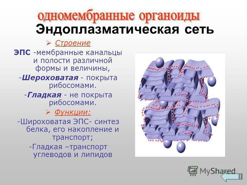 Эндоплазматическая сеть Строение ЭПС -мембранные канальцы и полости различной формы и величины, -Шероховатая - покрыта рибосомами. -Гладкая - не покрыта рибосомами. Функции: -Широховатая ЭПС- синтез белка, его накопление и транспорт; -Гладкая –трансп