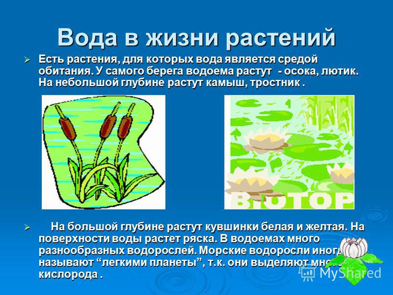 Вода в жизни растений Есть растения, для которых вода является средой обитания. У самого берега водоема растут - осока, лютик. На небольшой глубине растут камыш, тростник. Есть растения, для которых вода является средой обитания. У самого берега водо