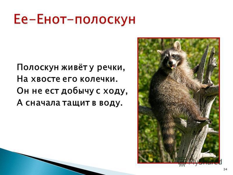 Полоскун живёт у речки, На хвосте его колечки. Он не ест добычу с ходу, А сначала тащит в воду. 34
