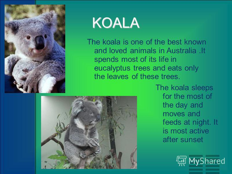 KOALA The koala is one of the best known and loved animals in Australia.It spends most of its life in eucalyptus trees and eats only the leaves of these trees. The koala sleeps for the most of the day and moves and feeds at night. It is most active a