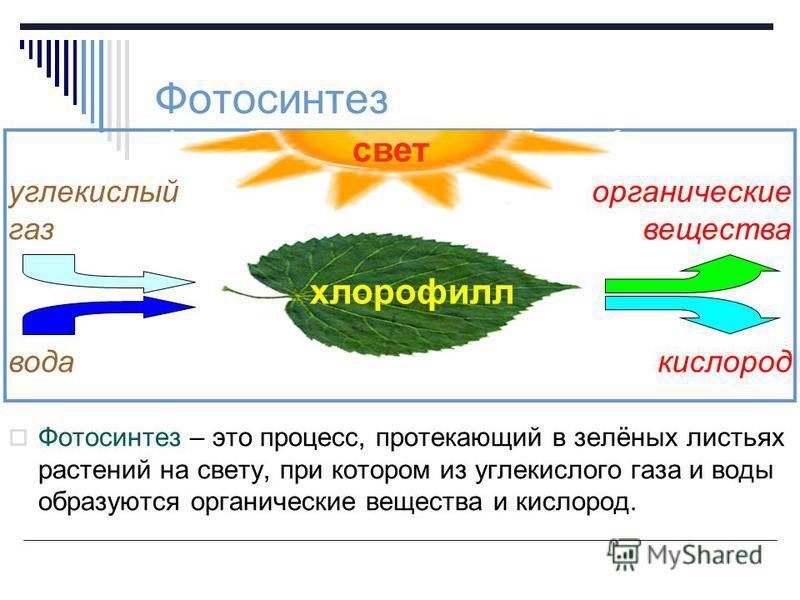 Фотосинтез – это процесс, протекающий в зелёных листьях растений на свету, при котором из углекислого газа и воды образуются органические вещества и кислород. Фотосинтез свет хлорофилл вода углекислый газ органические вещества кислород