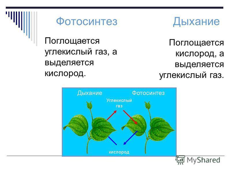 Фотосинтез Дыхание Поглощается углекислый газ, а выделяется кислород. Поглощается кислород, а выделяется углекислый газ.