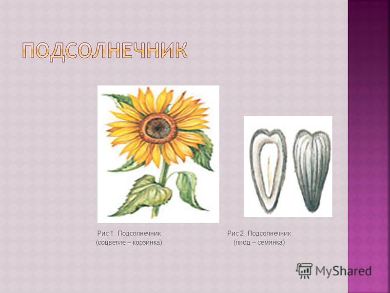 Рис 1. Подсолнечник (соцветие – корзинка) Рис 2. Подсолнечник (плод – семянка)