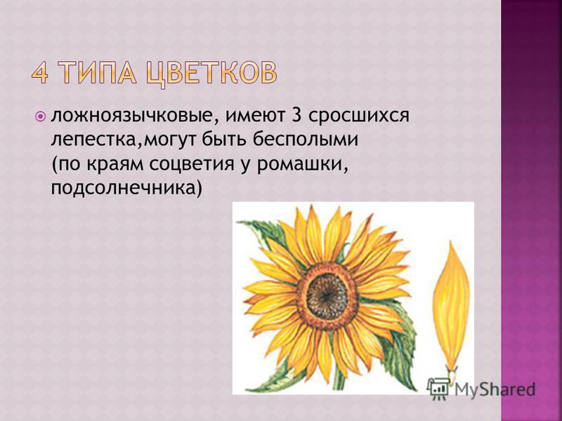 ложноязычковые, имеют 3 сросшихся лепестка,могут быть бесполыми (по краям соцветия у ромашки, подсолнечника)