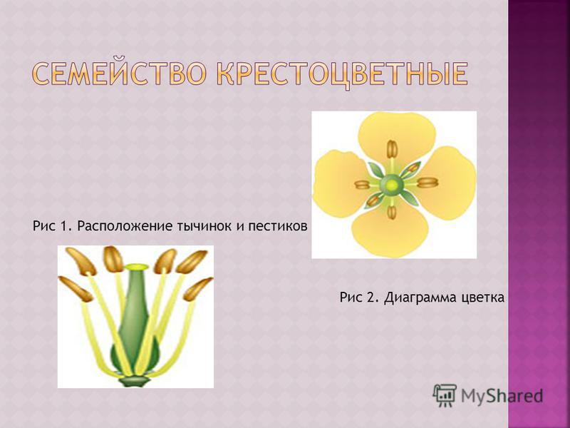 Рис 1. Расположение тычинок и пестиков Рис 2. Диаграмма цветка