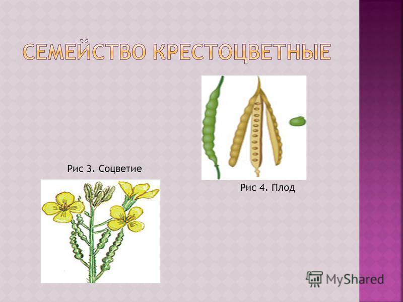 Рис 3. Соцветие Рис 4. Плод