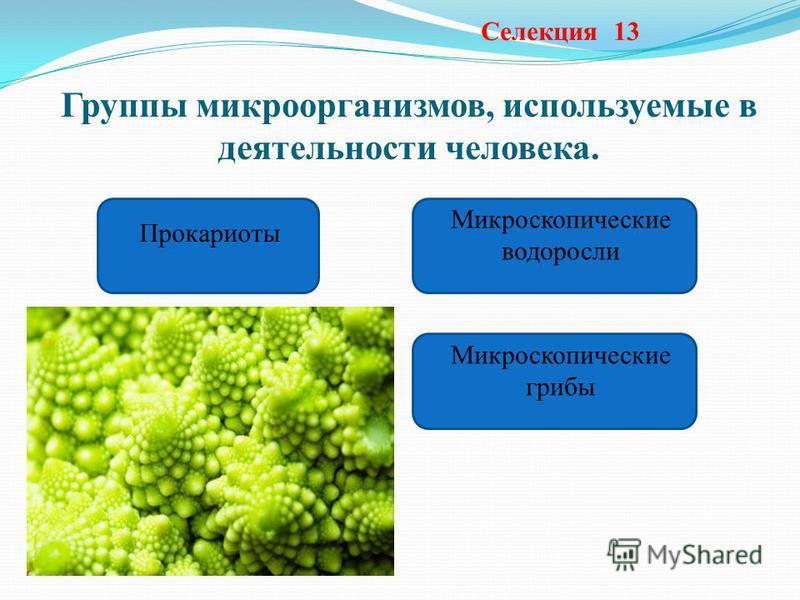 Группы микроорганизмов, используемые в деятельности человека. Селекция 13 Прокариоты Микроскопические водоросли Микроскопические грибы