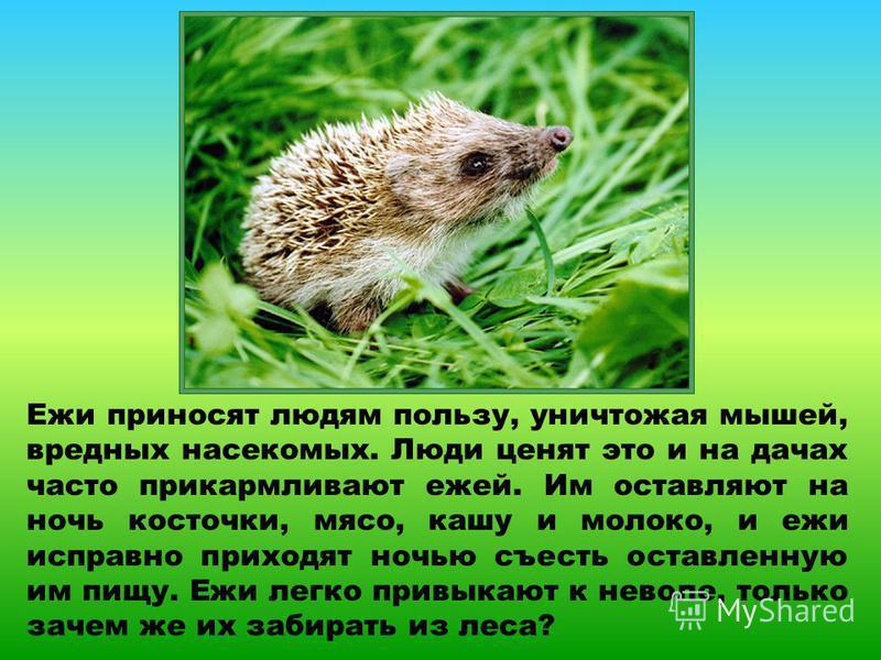 Ежи приносят людям пользу, уничтожая мышей, вредных насекомых. Люди ценят это и на дачах часто прикармливают ежей. Им оставляют на ночь косточки, мясо, кашу и молоко, и ежи исправно приходят ночью съесть оставленную им пищу. Ежи легко привыкают к нев