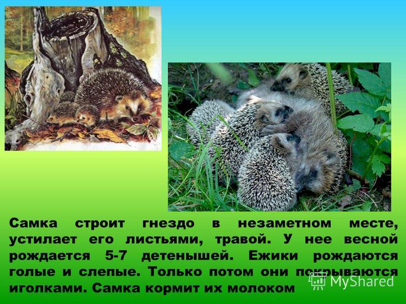 Самка строит гнездо в незаметном месте, устилает его листьями, травой. У нее весной рождается 5-7 детенышей. Ежики рождаются голые и слепые. Только потом они покрываются иголками. Самка кормит их молоком