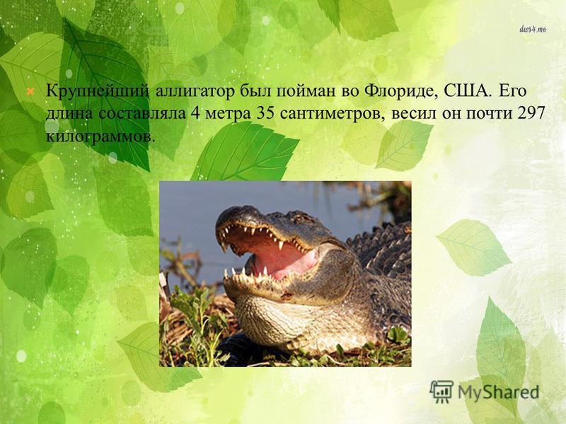 Крупнейший аллигатор был пойман во Флориде, США. Его длина составляла 4 метра 35 сантиметров, весил он почти 297 килограммов.