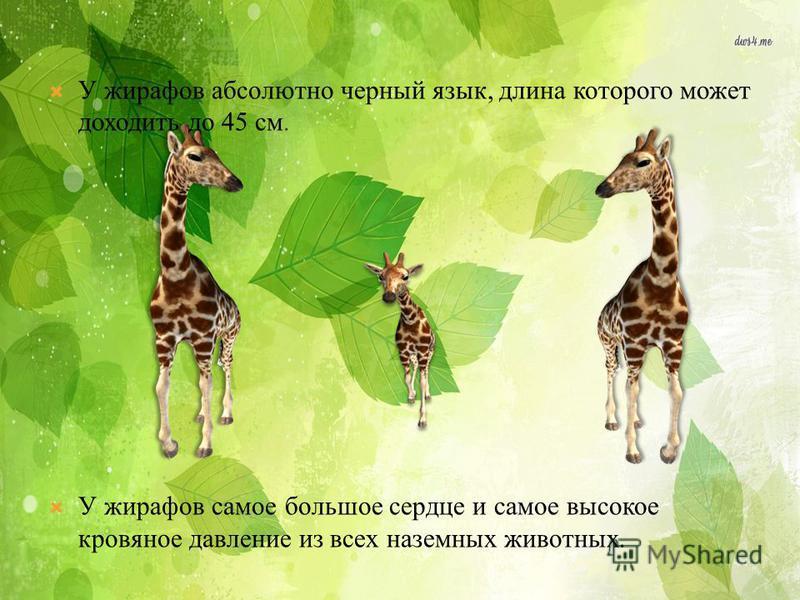 У жирафов абсолютно черный язык, длина которого может доходить до 45 см. У жирафов самое большое сердце и самое высокое кровяное давление из всех наземных животных.