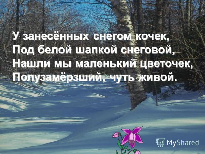 У занесённых снегом кочек, Под белой шапкой снеговой, Нашли мы маленький цветочек, Полузамёрзший, чуть живой.