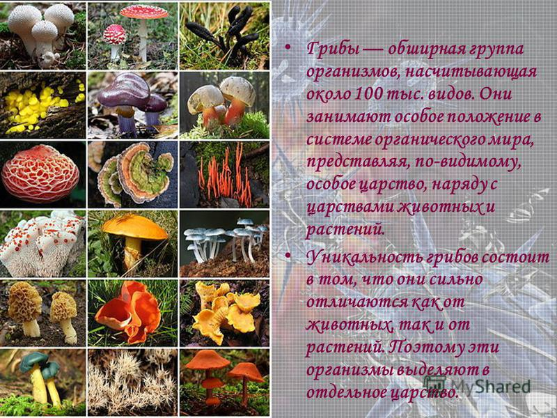 Грибы обширная группа организмов, насчитывающая около 100 тыс. видов. Они занимают особое положение в системе органического мира, представляя, по-видимому, особое царство, наряду с царствами животных и растений. Уникальность грибов состоит в том, что