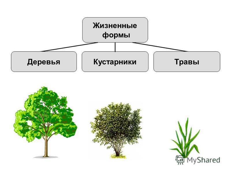 Жизненные формы Кустарники ТравыДеревья