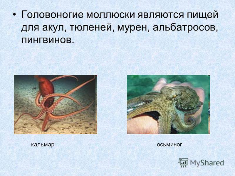 Головоногие моллюски являются пищей для акул, тюленей, мурен, альбатросов, пингвинов. кальмар осьминог