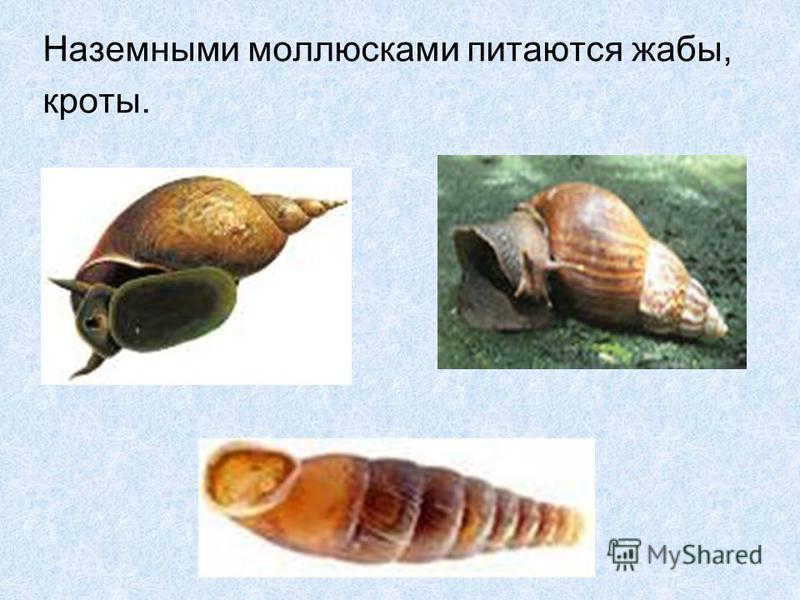 Наземными моллюсками питаются жабы, кроты.