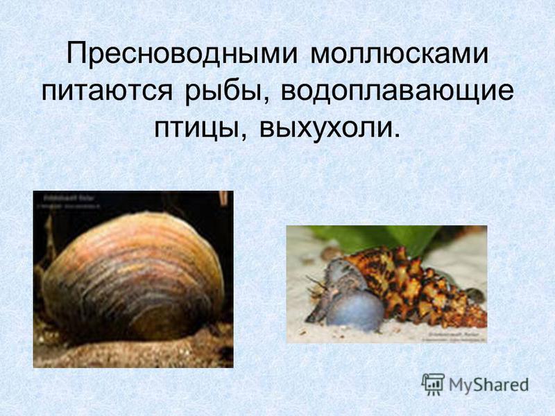 Пресноводными моллюсками питаются рыбы, водоплавающие птицы, выхухоли.