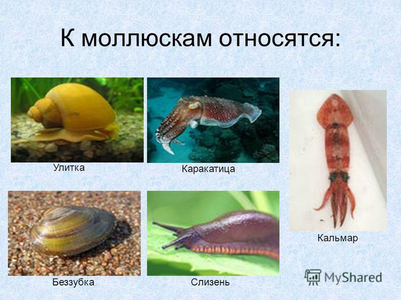 К моллюскам относятся: Улитка Каракатица Беззубка Слизень Кальмар
