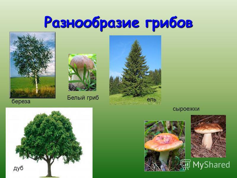 Разнообразие грибов Белый гриб сыроежки береза дуб ель