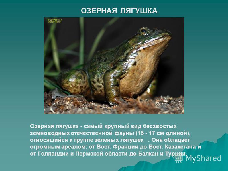 ОЗЕРНАЯ ЛЯГУШКА Озерная лягушка - самый крупный вид бесхвостых земноводных отечественной фауны (15 - 17 см длиной), относящийся к группе зеленых лягушек. Она обладает огромным ареалом: от Вост. Франции до Вост. Казахстана и от Голландии и Пермской об