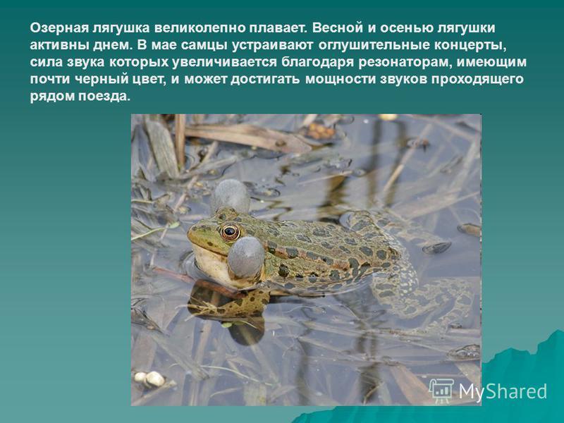 Озерная лягушка великолепно плавает. Весной и осенью лягушки активны днем. В мае самцы устраивают оглушительные концерты, сила звука которых увеличивается благодаря резонаторам, имеющим почти черный цвет, и может достигать мощности звуков проходящего