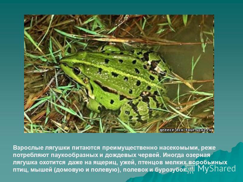 Взрослые лягушки питаются преимущественно насекомыми, реже потребляют паукообразных и дождевых червей. Иногда озерная лягушка охотится даже на ящериц, ужей, птенцов мелких воробьиных птиц, мышей (домовую и полевую), полевок и бурозубок.