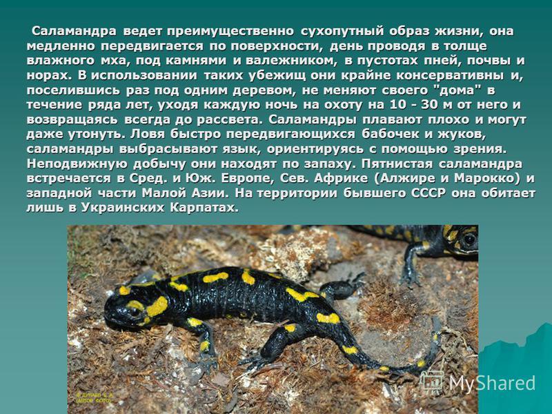 Саламандра ведет преимущественно сухопутный образ жизни, она медленно передвигается по поверхности, день проводя в толще влажного мха, под камнями и валежником, в пустотах пней, почвы и норах. В использовании таких убежищ они крайне консервативны и,