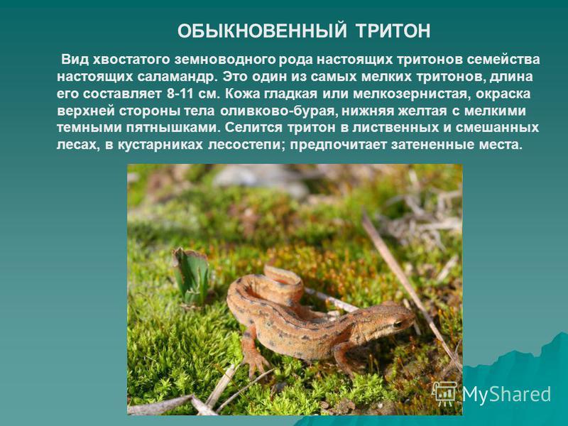 ОБЫКНОВЕННЫЙ ТРИТОН Вид хвостатого земноводного рода настоящих тритонов семейства настоящих саламандр. Это один из самых мелких тритонов, длина его составляет 8-11 см. Кожа гладкая или мелкозернистая, окраска верхней стороны тела оливково-бурая, нижн