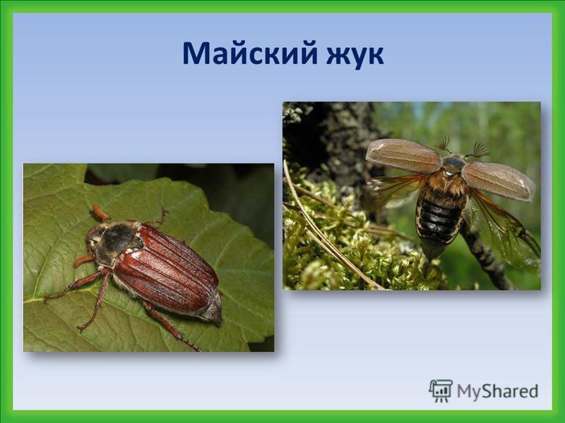 Колорадский жук и медведка – вредители садов и огородов. Эти жуки повреждают листья растений, корни и корнеплоды.