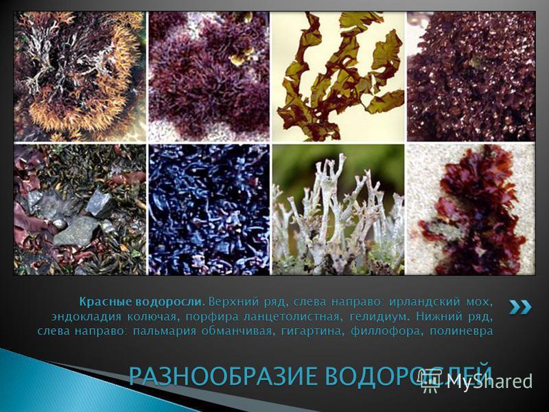Красные водоросли. Верхний ряд, слева направо: ирландский мох, эндокладия колючая, порфира ланцетолистная, гелидиум. Нижний ряд, слева направо: пальмария обманчивая, гигартина, филлофора, полиневра РАЗНООБРАЗИЕ ВОДОРОСЛЕЙ Красные водоросли. Верхний р