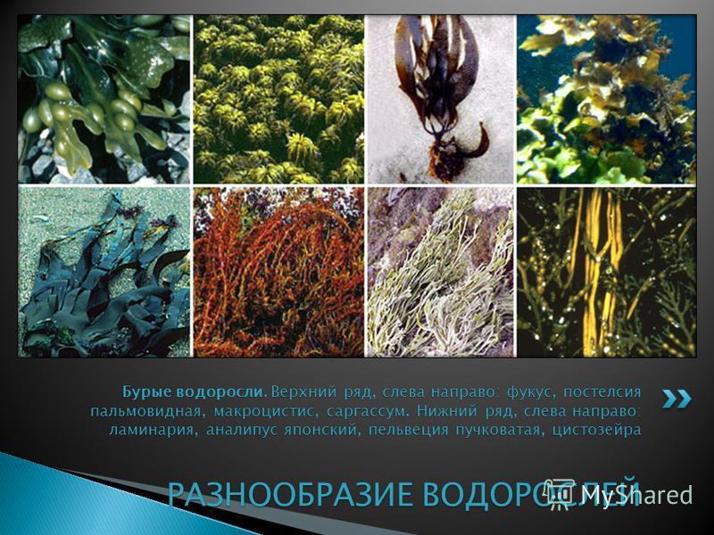 Бурые водоросли. Верхний ряд, слева направо: фукус, постелсия пальмовидная, макроцистис, саргассум. Нижний ряд, слева направо: ламинария, аналипус японский, пельвеция пучковатая, цистозейра РАЗНООБРАЗИЕ ВОДОРОСЛЕЙ