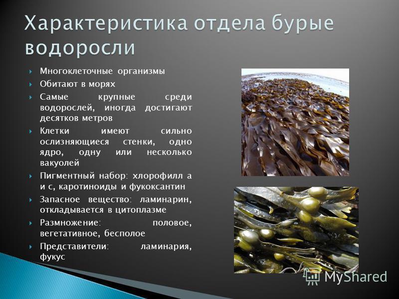 Многоклеточные организмы Обитают в морях Самые крупные среди водорослей, иногда достигают десятков метров Клетки имеют сильно ослизняющиеся стенки, одно ядро, одну или несколько вакуолей Пигментный набор: хлорофилл а и с, каротиноиды и фукоксантин За