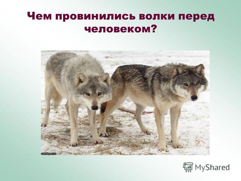 Чем провинились волки перед человеком?