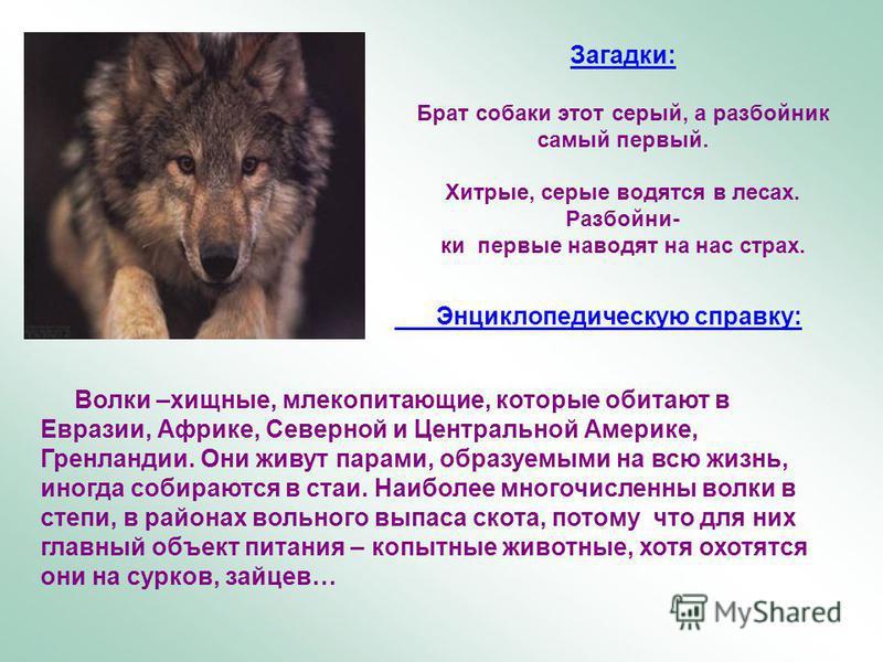 Загадки: Брат собаки этот серый, а разбойник самый первый. Хитрые, серые водятся в лесах. Разбойни- ки первые наводят на нас страх. Энциклопедическую справку: Волки –хищные, млекопитающие, которые обитают в Евразии, Африке, Северной и Центральной Аме