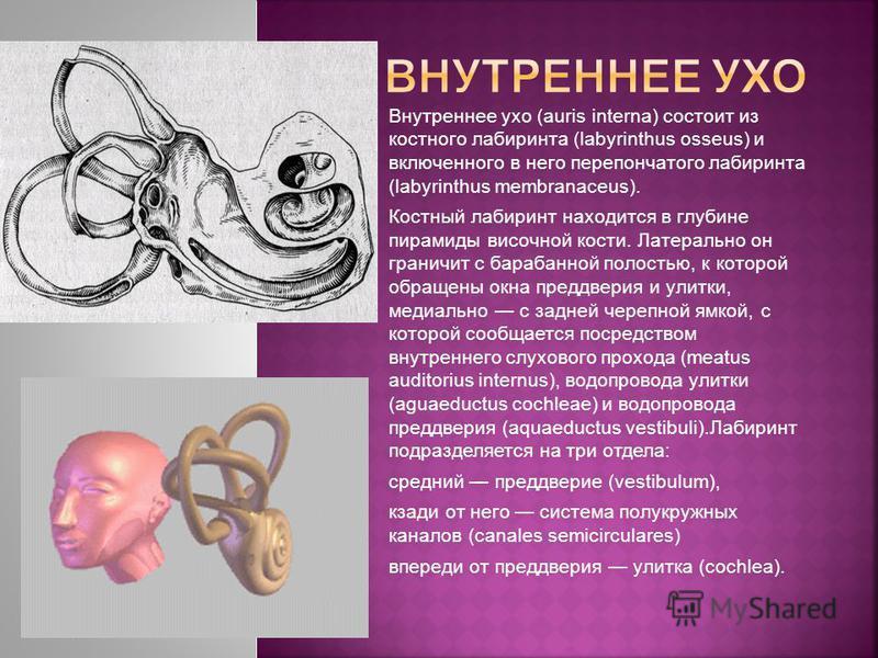 Внутреннее ухо (auris interna) состоит из костного лабиринта (labyrinthus osseus) и включенного в него перепончатого лабиринта (labyrinthus membranaceus). Костный лабиринт находится в глубине пирамиды височной кости. Латерально он граничит с барабанн